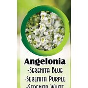 Angelonia - From $13.99
